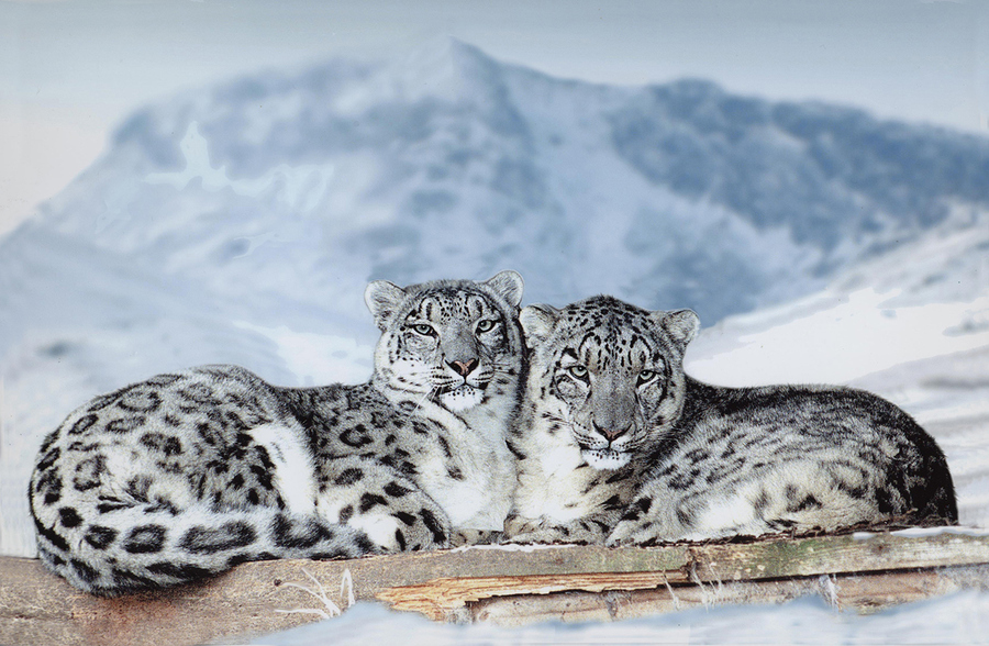 Snow Leopard– The Most Beautiful Feline Animal  Tibet Travel Blog