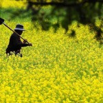 A farmer walks in cole flower field in Xiri Village of Gongbo'Gyamda County in Nyingchi Prefecture, southwest China's Tibet Autonomous Region, June 4, 2014.