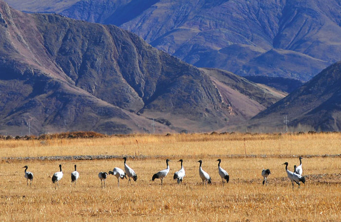 The Black-necked Crane can be seen in Lhasa and Shigatse