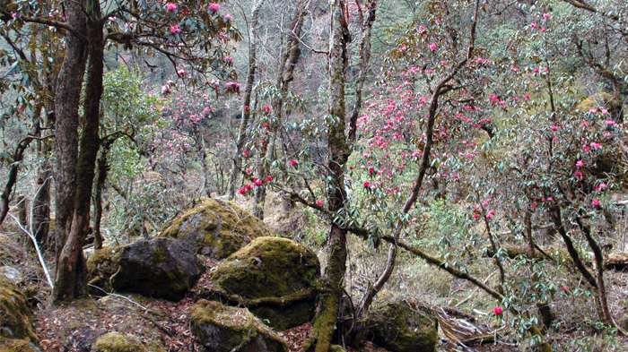 Gorgeous rhododendron forest in Jun