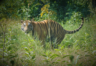 Chitwan's royal Bengal tiger