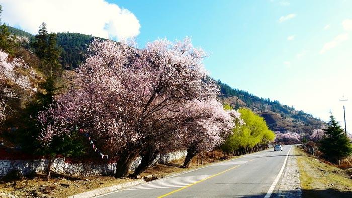 Nyingchi Peach Blossom Festival - Gongbo'gyamda County