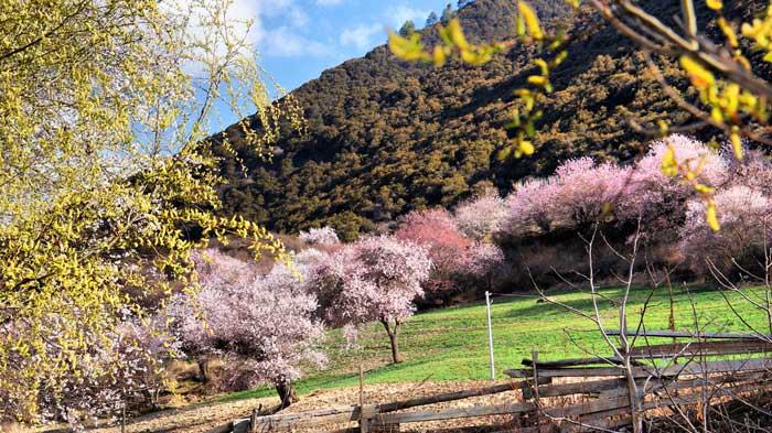 Nyingchi Peach Blossom Festival - Nang County