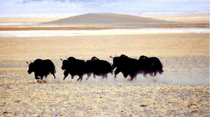 Wild animals in Tibet