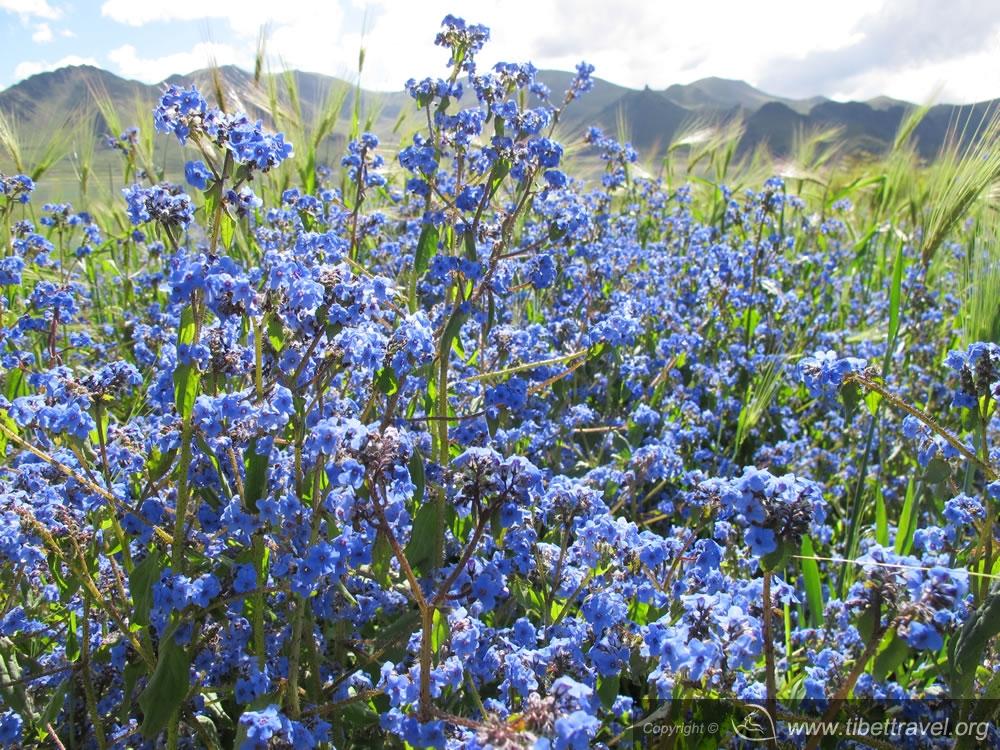 highland flower
