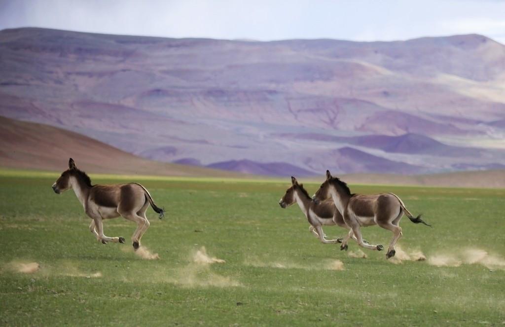 Equus Kiang Special Species Of Animal In Tibet Tibet Travel Blog