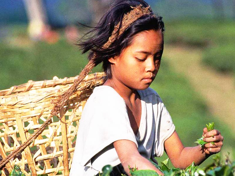 The Tea Picking Girl