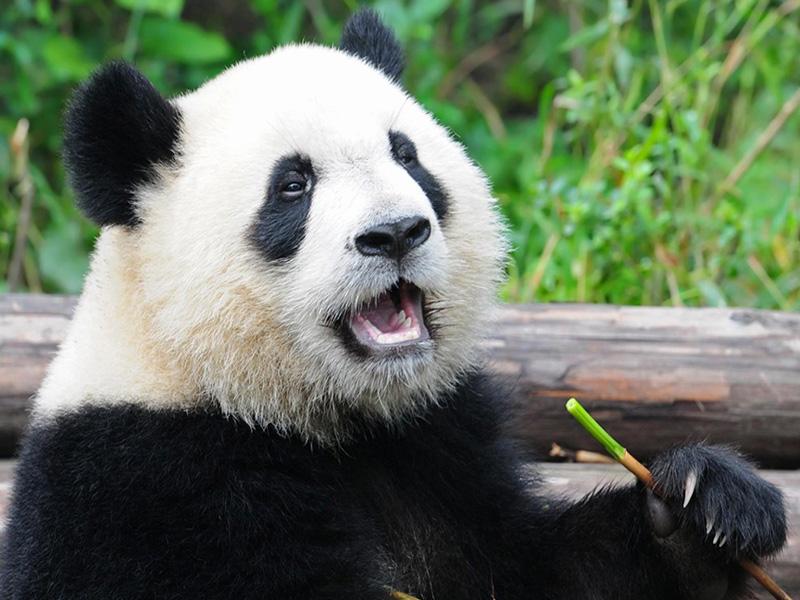 Giant Panda in Sichuan