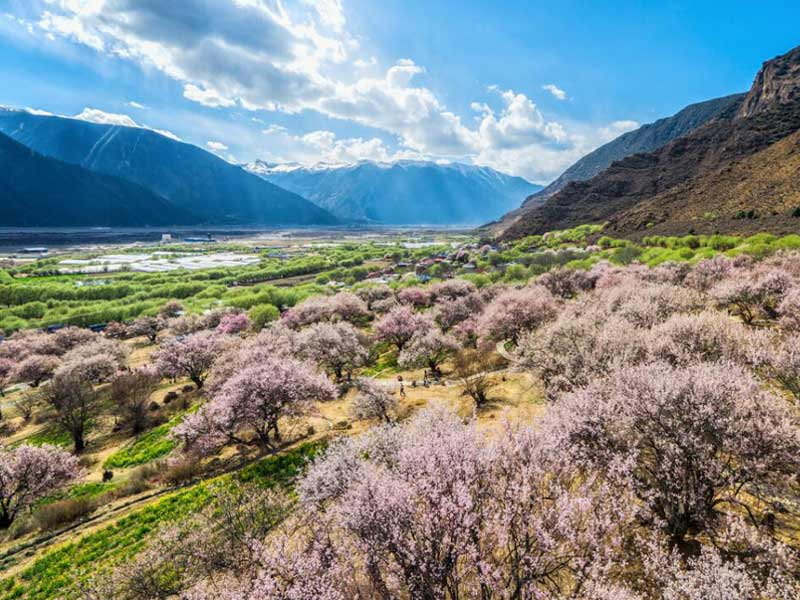 peach blossom in Nyingchi