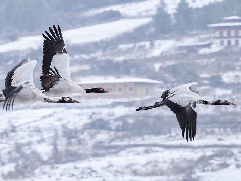 black-necked Cranes in Phobjika Valley
