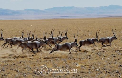 Tibet wild animals