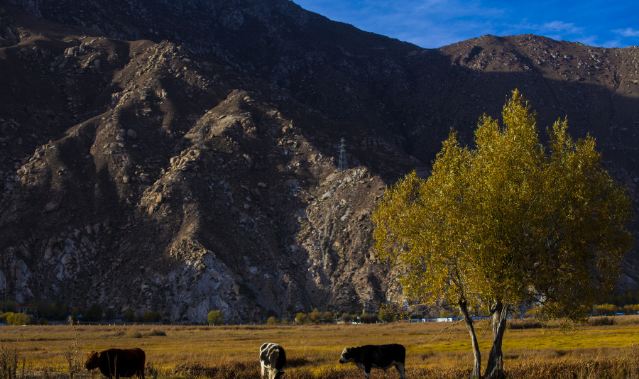 Photo shows cattle graze on grassland in Lhalu Wetland Reserve in Lhasa, capital of southwest China's Tibet Autonomous Region.